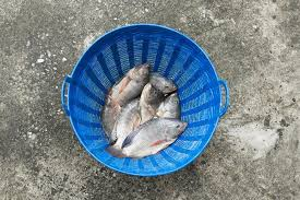Tilapia And Nile In Blue Plastic Bucket Raw Fresh Stock Photo