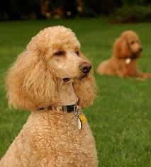 hypoallergenic dogs list the best dog breeds for people with