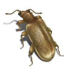 Carpet Weevil Pictures by Pictures Of Beetles Beetle Images And Photo Gallery