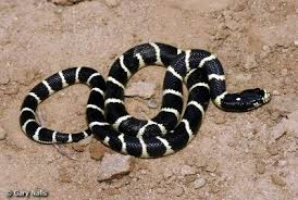 how often do king snakes shed how do they shed their skin and why