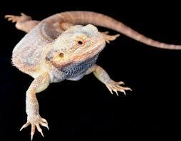 Bearded Dragon Heat Lamp Times by Basic Care Bearded Dragon Arizona Exotics Lizards Resources