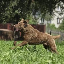 Chesapeake Bay Retriever Molting by The 10 Best Weather Dog Breeds Outside Online
