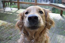 Using Pumpkin For Diarrhea In Dogs by What To Do When Your Dog Has Diarrhea 3 Simple Home Remedies