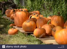 Half Moon Bay Pumpkin Patches 2015 by Pumpkin Patch Kids Stock Photos U0026 Pumpkin Patch Kids Stock Images