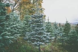 Nordmann Fir Christmas Tree Seedlings by Family Farmed U2014 Pick The Perfect Christmas Tree At Swansons Nursery