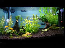 AquaBie: Aquascape - Planted Tank (Golden Shine) 329 Best Aquascape Images On Pinterest Aquarium Ideas Floratic Visiting Paradise At Shah Alam Planted Aquarium Aquascape Things Aquariums Aquascaping Malaysia Diy Pertama Kali Aquascaping October 2010 Of The Month Ikebana Aquascaping World Sumida Aquarium Reloaded Fish Tanks And Designs Awesome A Moss Experiment Its All About Current Low Tech Tank Cuisine Wonderful Small Cubical Styles Planted The Surreal Submarine Amuse