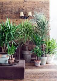 yucca palme als zimmerpflanze das haus