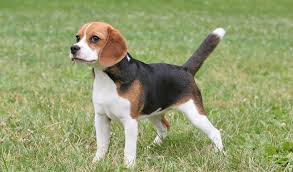30 Dog Breeds That Shed The Most by Beagle Breed Information