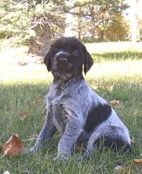 Wirehaired Pointing Griffon Non Shedding by 100 German Wirehaired Pointer Shedding French Brittany Pup