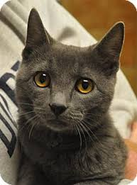 russian cat names atlanta ga russian blue meet smokey a cat for adoption