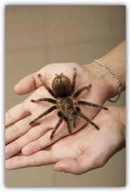 Do Tarantulas Molt Upside Down by How To Handle Tarantulas