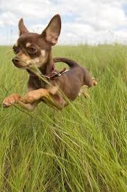 Do Pocket Puggles Shed by Best 25 Smallest Dog Breeds Ideas On Pinterest Smallest Dog