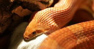 Corn Snake Shedding Signs by A Corn Snake Shedding Skin In Terrarium Pantherophis Guttatus Is