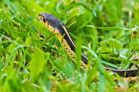 Slithering Snakes Of The Everglades And South Florida Backyard Snakes Effective Wildlife Solutions Snakes And Beyond 65 Best Know Them Images On Pinterest Georgia Of Louisiana Department Fisheries Southern Hognose Snake Florida Texas Archives What Is That 46 The States Slithery Species Nolacom Scarlet Kingsnake Cottonmouth Eastern Living Alongside Idenfication Challenge The Garden Or Garter My Species List New Engdatlantic