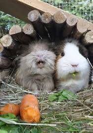 Can Guinea Pigs Eat Salted Pumpkin Seeds by 196 Best Guinea Pigs Images On Pinterest Animal My Heart And Shoes