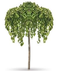 How To Properly Take Care Of A Weeping Mulberry Tree