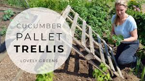 Cucumber Pallet Trellis New Plants For The Veggie Garden