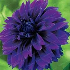 free shipping us 2 bulbs purple nyentrik dahlia flower bulbs ebay