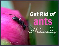 How To Get Rid of Ants Naturally House and Carpenter Ants