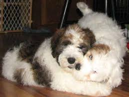 berdoodle breed information pictures more