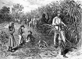 Slaves Working In A Sugar Cane Plantation British West Indies