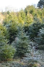 Christmas Trees Types Uk by Penpont Opens For Christmas Trees