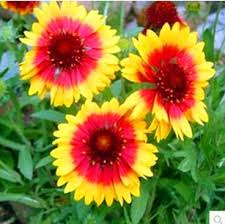 Get Quotations Original Potted Flower Garden Balcony Color Package Vanilla Plant Heaven Daisy Chrysanthemum