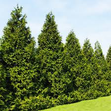 Leyland Cypress Christmas Trees Louisiana by Emeralds Vs Green Giants Dueling Thujas Competing For Your Garden
