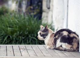 Excessive Hair Shedding In Cats by Skin Mite Dermatitis In Cats Petmd