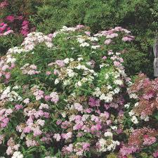 Buy Pink Flowering Black Stem Hydrangea Plants By Charellagardens