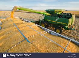 100 Tandem Grain Trucks For Sale A Combine Harvester Unloads Corn Into A Farm Truck During The Stock
