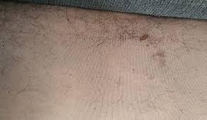 Fleas Hardwood Floors Borax by Fleas Lakewood Exterminating