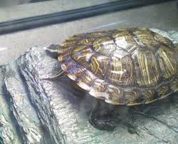 Turtle Shell Not Shedding by Redearslider Com View Topic Jagged Scutes Proper Shell Formation
