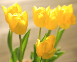 how to plant tulips outside after they bloom in pots home guides