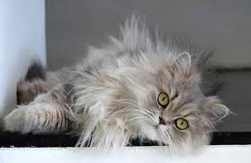 haired cat 5 reasons your cat may not be grooming correctly catsbook