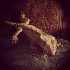 Crested Gecko Shedding Help by 87 Best Crested Gecko Images On Pinterest Crested Gecko Geckos
