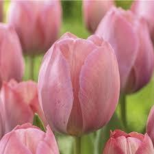shop garden state bulb 10 pack mystic eijk tulip bulbs l26512
