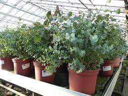 4 stück eucalyptus gunni gunnii busch kaufland de