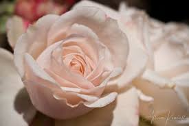 Soft pink roses close up