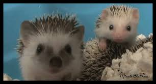 Porcupine Eating Pumpkin Gif by And Now For Something Completely Different U2014 The Knot