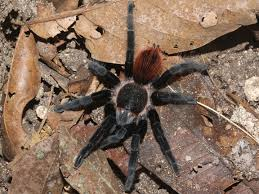 Pumpkin Patch Tarantula For Sale by Spiders Brachypelma Vagans Photographed In April Of 2009 Using A