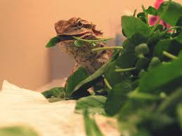 Bearded Dragon Heat Lamp Went Out by Brumation In Reptiles Bearded Dragon Hibernation