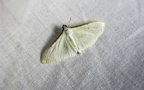 Confidential Clothes Moths and Carpet Beetles