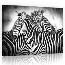 forwall leinwandbild kunstdruck wandbild zebras o1 100cm x