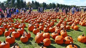 Nj Pumpkin Picking by Pumpkin Picking At F U0026w Schmitt U0027s Family Farm Melville New York