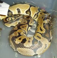 Ball Python Shedding Eating by Where My Scales Slither U2014 Ball Pythons The Shedding Process
