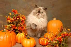 Too Much Pumpkin For Dogs Diarrhea by Can Cats Eat Pumpkin Is It Harmful To Them Jan 2018