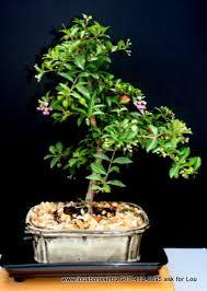 Indoorbonsaiexotics Dwarf Weeping Cherry Beginner Bonsai Tree Indoors