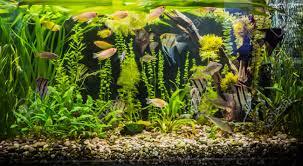 aquarium d eau douce un beau vert aquarium tropical d eau douce planté avec des