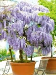 planting wisteria in a pot monty don s gardening tips your lawn simple tricks to bring